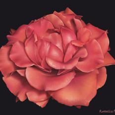 1 rossella piccini rosa illustrazione